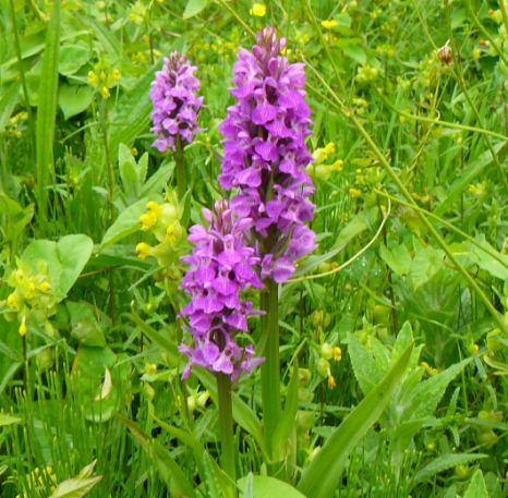 0-0-0-wx802-s-marsh-orchids-bm-30.05.14